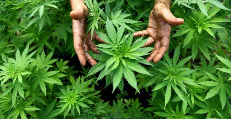 Legalizzazione della Cannabis in Italia: progetto di legge bipartisan