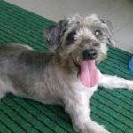 Tosare il cane fa bene? Nuoce alla salute dell'amico a quattro zampe