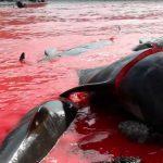 Servizio Le Iene: Balene uccise nelle isole Far Oer (Video Le Iene)