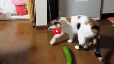 Photo of Perché i gatti hanno paura dei cetrioli? Gli ortaggi terrore dei felini
