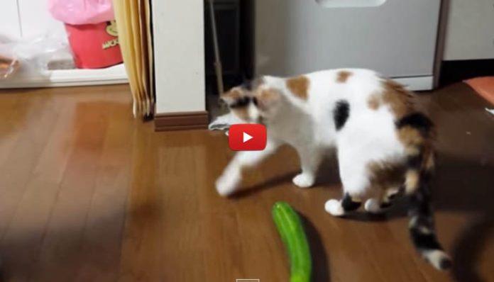 Perché i gatti hanno paura dei cetrioli? Gli ortaggi terrore dei felini
