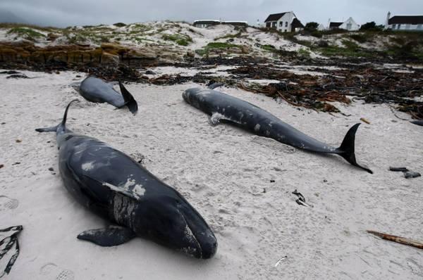 Nuova Zelanda, 400 balene spiaggiate a Farewall Spit