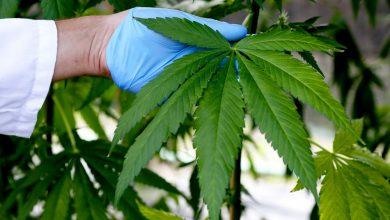 Photo of Cannabis light, Cassazione: è reato vendere i prodotti derivati