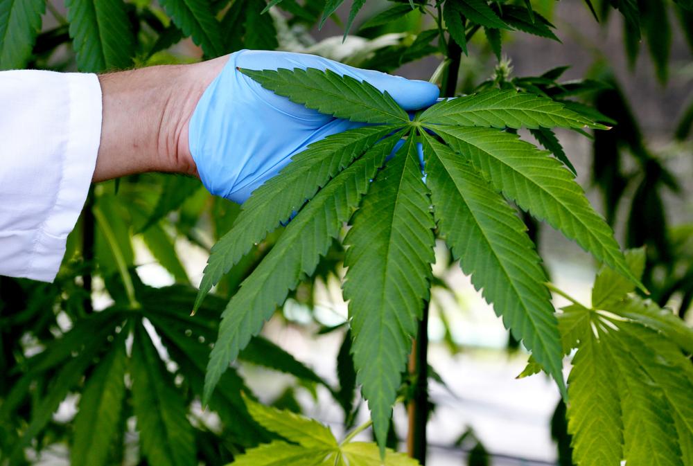 Cannabis e legalizzazione: la riforma dimenticata