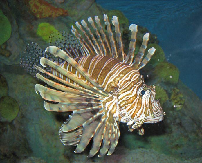 Pesce Scorpione in Sicilia: è pericoloso?