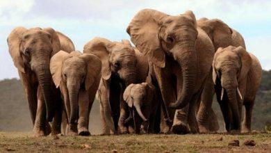 Photo of Marchforgiants 2018: iniziativa a difesa degli elefanti