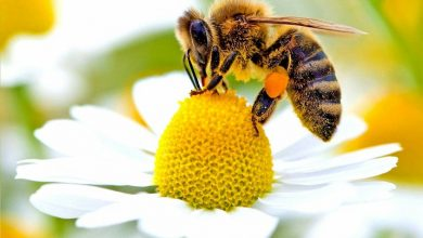Photo of Stop ai pesticidi che minacciano le api dall'Unione Europea