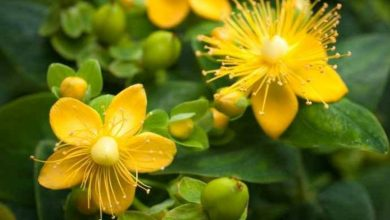 Photo of Hypericum Scruglii, la pianta che può bloccare l'HIV