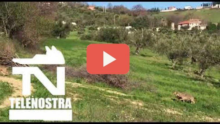 Lupi-Calitri-video