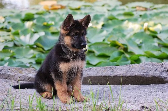Cuccioli E Cucciole Di Pastore Tedesco Consigli Educazione E