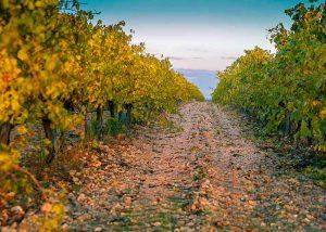coltivazione-uva-fragola-per-fragolino