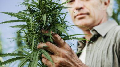 Smiling farmer checking hemp plants