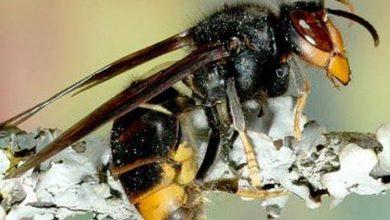 Photo of La Vespa Killer uccide l'uomo? Caratteristiche del calabrone asiatico