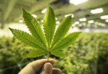 Photo of Cannabis, autoproduzione non è reato penale: la sentenza della Cassazione
